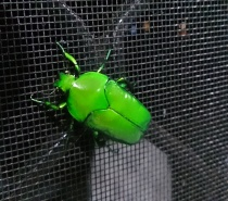 Christmas Beetle from Southern Mamu Forest