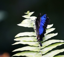 Beautiful Ulysses Butterfly, a common sight at Mamu Tropical Skywalk